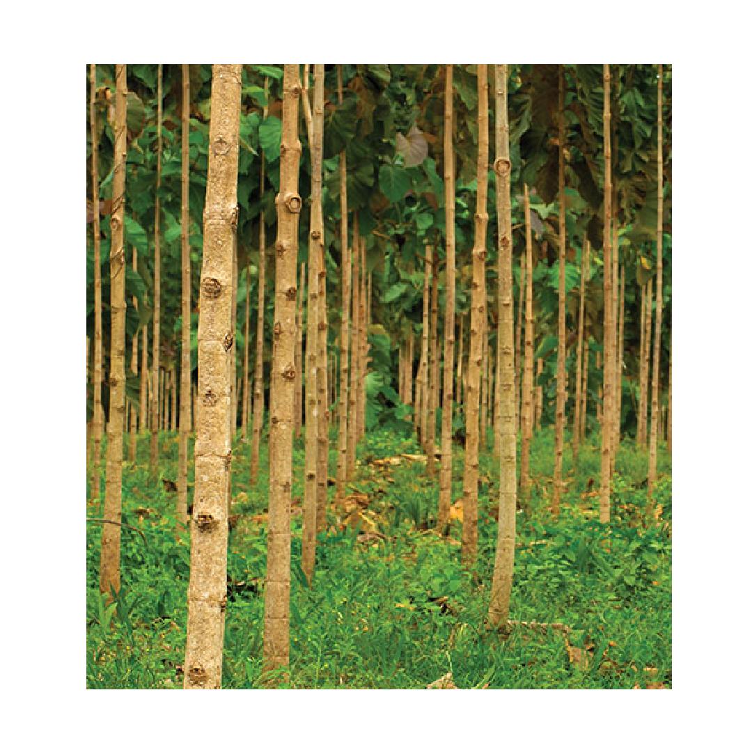 White teak timber forest Solomon Islands for plantation shutters